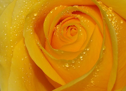 Yellow rose interior, with raindrops, sooc