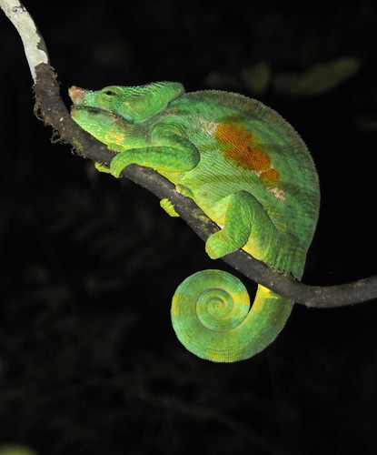 Like most chameleons, the adult males have a horned nose, a short double ...