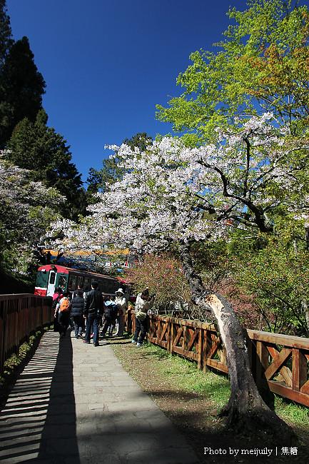 2011阿里山櫻花季晴天版09