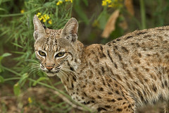 LYNX RUFUS (sea25bill) Tags: california morning usa nature animal cat mammal feline wildlife bobcat carnivore santabarbaracounty lynxrufus