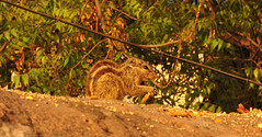 squirrel date #12 (parth joshi) Tags: dawn cycling child squirrell muses desolate mehrauli monumentsindelhi bhattimines adamkhanstomb