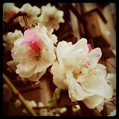 二色の八重桜