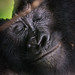 Juvenile Gorilla close up
