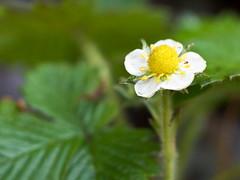 4月のお庭〜Wild Strawberry〜