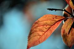 (Loc Milliere) Tags: macro rouge leaf spring bleu printemps feuille d7k d7000 nikond7000 nikond7k