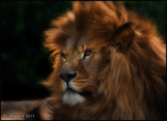 The Red Lion (JKmedia) Tags: red portrait hairy brown nature face animal animals cat furry feline king leo wildlife lion fluffy explore bigcat endangered sunlit regal mane panthera pantheraleo felidae whf canoneos40d favescontestwinner jkmedia thepinnaclehof n15c pregamewinner signofthezodiacnameit tphofweek93