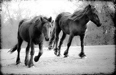 Horses field (CWhatPhotos) Tags: pictures horses horse white black monochrome field shop canon that lens psp eos prime photo focus soft paint foto image photos under picture 9 images have adobe fotos 7d pro fixed paintshoppro 60mm which f28 contain lightroom focal clarified cwhatphotos