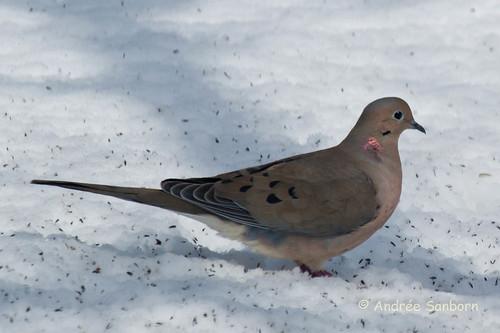 Mourning doves (5 of 4).jpg