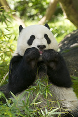 Yun Zi says: Don't forget to Floss! (Rita Petita) Tags: california panda sandiego giantpanda sandiegozoo yunzi yunior