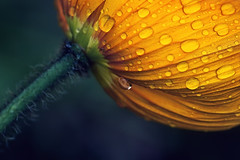 mohn (~janne) Tags: flowers berlin nature water yellow fauna spring wasser blumen olympus 300mm gelb april zuiko janne tropfen frühling mohn papavernudicaule janusz e520 ziob