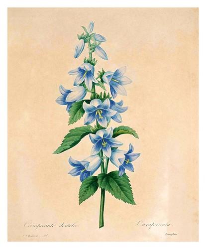 014-Campanula dentada-Choix des plus belles fleurs…1827- P.J.Redoute