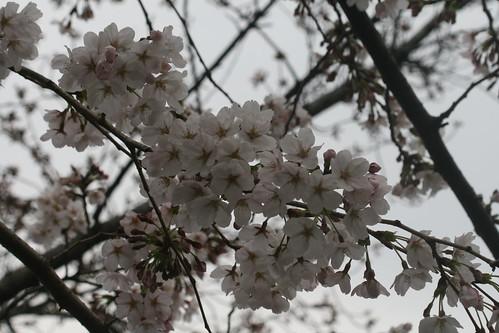 Cerezos sakura en Shibuya