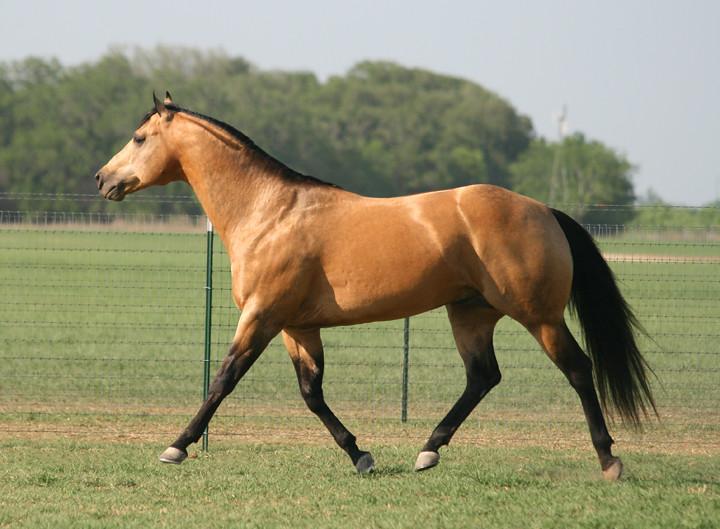 roping hancock dude bucks horses horse stallion quarter bobby lewis blondy namgis
