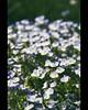 blue blossoms (mcPhotoArts™) Tags: copyright flower nature germany bayern deutschland bavaria spring blossom bokeh natur blossoms blumen blüte frühling blüten uffing sigma1770mm2845dcmacro canoneos550d mcphotoarts©2011 gapaland