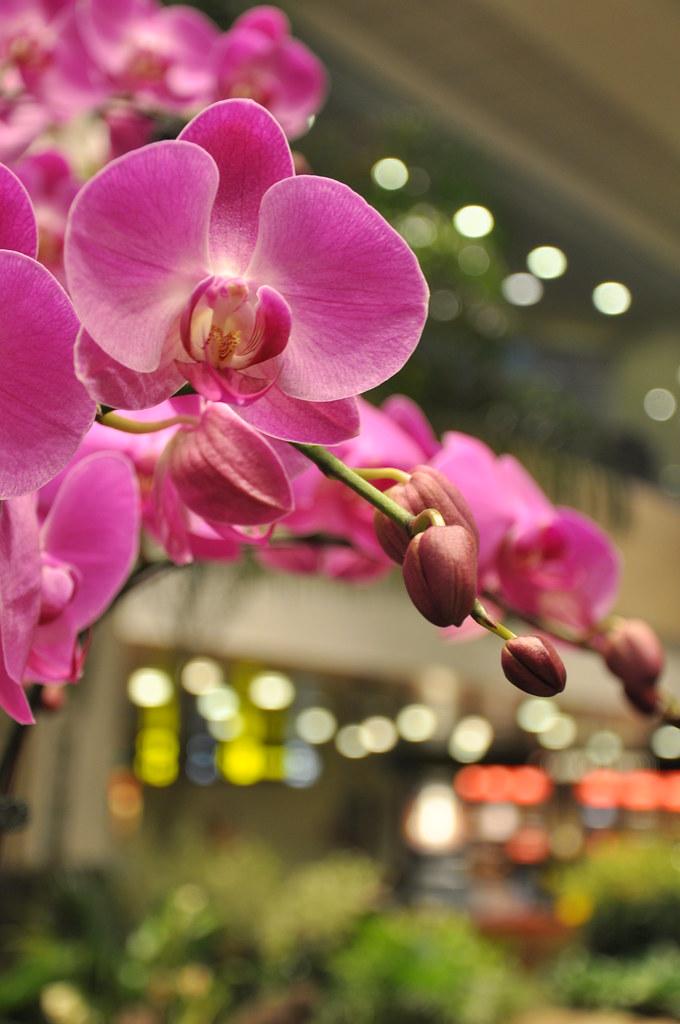 Orchids in the house 樟宜机场娱乐之一就是拍兰花 ...