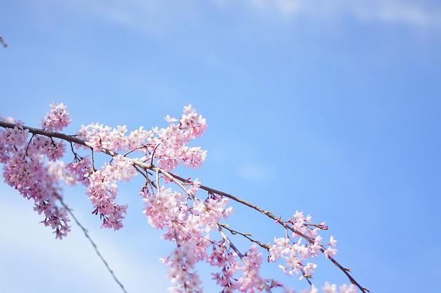 matsumoto sakura