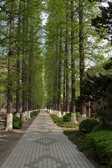 the green mile * (zoan) Tags: china trees green spring university shanghai metasequoia tongji foliages