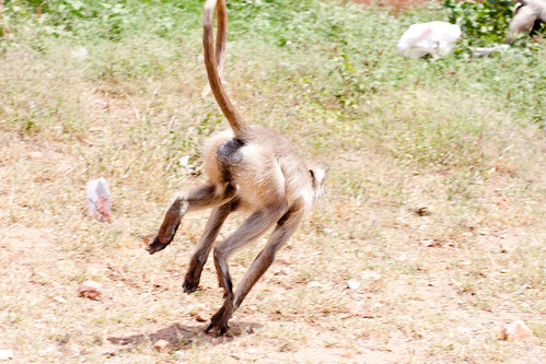 Monkey Butt! at Jaigarh Fort