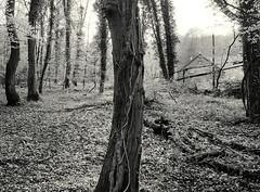 Frhlingsbeginn im Hesperbachtal #5 (Willi Morali) Tags: trees ilford fp4 heimat frhling landcape swa alpa natureslight finol autaut eco4812 moerschphotochemie mt3varioschwefeltoner rollfilm6x8 adoxmcc110 hesperbach