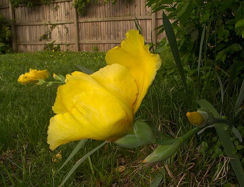 Yellow Iris Near Backyard Fence