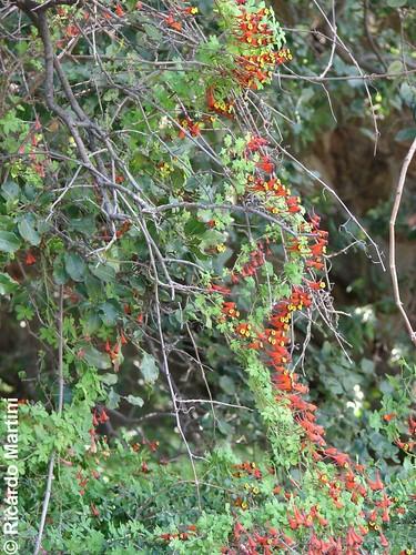 <br><br><br>Soldaditos (<i>Tropaeolum tricolor</i>) trepando un arbusto, con sus flores formadas militarmente. Captada en la cuesta La Dormida, región de Valparaíso.