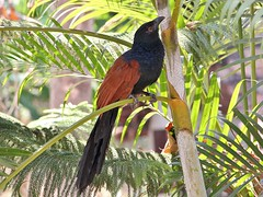 Greater Coucal (Crow-Pheasant) (SivamDesign) Tags: bird fauna canon eos rebel backyard kiss x4 coucal greatercoucal centropussinensis 550d t2i crowpheasant canonefs18135mmf3556is