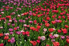 21042011-ALG_5380 (nikontino) Tags: holland 21 di april bunga indah 花 tulipa в keukenhof 蘭 朵 사진 lisse 荷 麗 цветы 的 2011 美 在 belanda 아름다운 한국의 красивые ichliebetulpen 네덜란드 일을 꽃은 찾고 keukenhof21april2011lissehollandtinostulennikontino нидерландах オランダから美しい花々 네덜란드에서 작가로