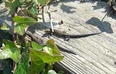 Young common lizards (stevedb10) Tags: uk england isleofwight solent totland commonlizard totlandbay