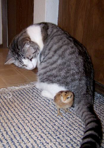 cute cat looks after chick