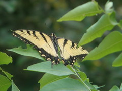 Tiger swallowtail at rest