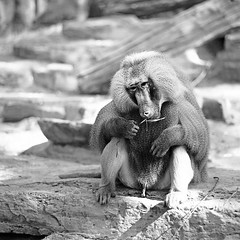 Three-legged baboon (Woven Eye) Tags: park blackandwhite bw 6x6 nature animal fur zoo monkey rocks sitting noiretblanc wildlife rocky reserve nb baboon erection erected zwartenwit ratio11