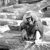 • Three-legged baboon… (Woven Eye) Tags: park blackandwhite bw 6x6 nature animal fur zoo monkey rocks sitting noiretblanc wildlife rocky reserve nb baboon erection erected zwartenwit ratio11