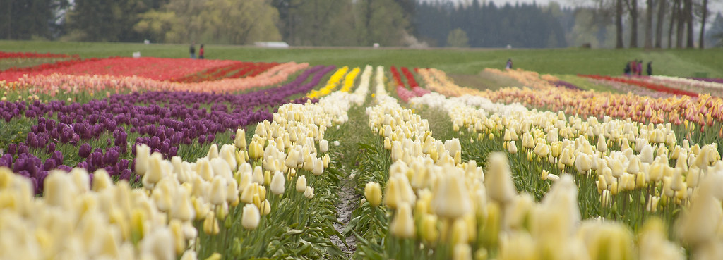 wooden shoe tulip farm 24