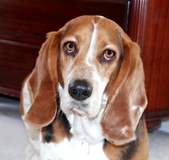 Treasure Chest (BeezeeB) Tags: dog love puppy nose eyes furry friend treasure serious chest ears charlie question pup bassethound