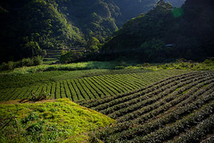 Shanwaishan Organic Eco Tea Field (ntitov) Tags: green nature beautiful field season spring asia farmers tea outdoor farm chinese taiwan organic agriculture eco ecological harvesting plantations camelliasinensis pinglin teaculture