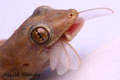 Common House Gecko (AvijitNandy) Tags: