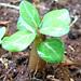 seeds adenium 4