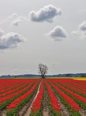 Tree in the Distance (sea turtle) Tags: flowers red cloud flower tree clouds tulips tulip skagit washingtonstate mountvernon skagitvalley skagitvalleytulipfestival tulipfestival laconner skagitcounty naturepoetry