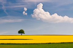rapeseed and the tree (skoeber) Tags: tree nature field landscape spring nikon urlaub natur feld meadow single landschaft raps baum singletree frhling rapeseed d90 nikond90