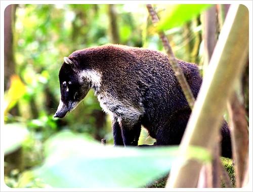 Coati Monteverde