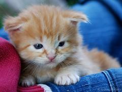 (Pascale Dupuis) Tags: france animal chat charentemaritime nikond60 allrightsreservedpascaledupuis