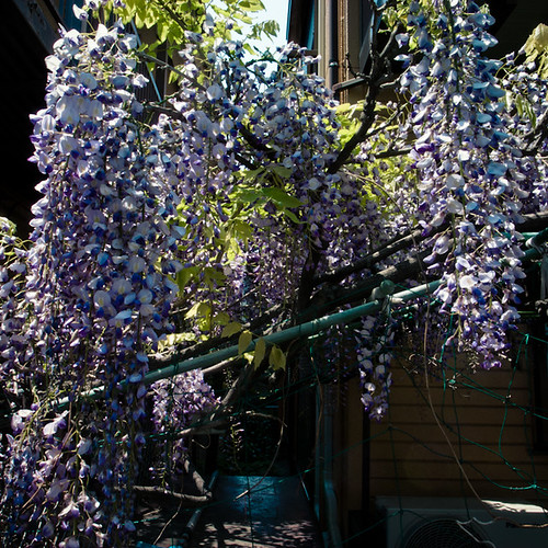 Wisteria in the Neighborhood