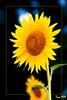 Girasole - Sunflower (Tore959) Tags: flower nature minolta natura bec 28135 sungod inspire soe breathtaking pictureperfect 100m cubism themoulinrouge fpc greatphotographers supershot imagepoetry creativephoto flowerotica outstandingshots fineartphotos mywinners ultimateshot irresistiblebeauty crystalaward firsttheearth infinestyle goldenphotographer flickrdiamond megashot empyreanflowers ysplix excellentphotographerawards f445 exemplaryshots magicofaworldinmacro brillianteyejewel defendersmacroandcloseup overtheexcellence flowerorfoliagedetail goldsealofquality macromarvels theperfectphotographer excellentflowers sonya700 fioris theroadtoheaven flowersmacroworld creativemaster raretreasures excellentsflowers life~asiseeit flickrsexquisiteshots 4mazingorgeoushotsoflowers amazeandbeamazed digifotopro multimegashot allkindsofbeauty ourmasterpieces thegoldproject worldsmoststunningshots thegreatshooter showmeyourqualitypixels macrosdenaturaleza envyenviedphotos 100bf phenomenalpictureperfect freeflickrflowers obq mygearandme