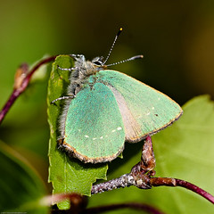 Green Hairstreak (Chris@184) Tags: butterfly insect interestingness interesting lepidoptera explore calamity insecta lycaenidae greenhairstreak canoneos30d callophrysrubi sigma180mmf35apomacro chris184 sigma180mmf35exdg barbrookmoor