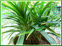 Propagating Pandanus amaryllifolius (Fragrant Pandan): plantlets maturing and suckering well a year later. Shot April 2011