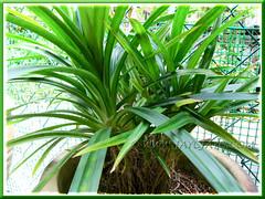 Propagating Pandanus amaryllifolius (Fragrant Pandan): plantlets maturing and suckering well a year later. Shot April 2011