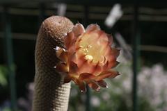 Lobivia famatimensis v. bonniae - 09 (Ryoushi no syokubutsuen) Tags: cactus cacti lobivia famatimensis bonniae