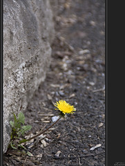 Loneliness? (Taramur) Tags: street spring dandelion frhling lwenzahn taraxacumofficinale strase