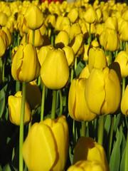 Yellow (historygradguy (jobhunting)) Tags: flowers boston ma spring massachusetts newengland mass bostonist bigmomma universalhub challengeyouwinner herowinner flowerpowerflowers