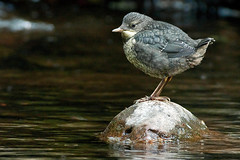 EXPLORED !!! Dipper Chick .... !! (Gareth Scanlon) Tags: old uk blue white 3 green bird eye feet nature water rock stone wales river ed grey nikon carmarthenshire blind wildlife amman beak young feather chick sharp iso 1600 300mm hide pre valley tc perch if pro 300 f56 nikkor weeks dip gareth scanlon f4 fledgling dgs afs dipper ammanford throated kenko 14x teleconvertor 420mm cincluscinclus cinclus cincluscinclusgularis gularis fledge fledling brynamman d300s prefledgling garethscanlon